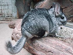 chinchilla
